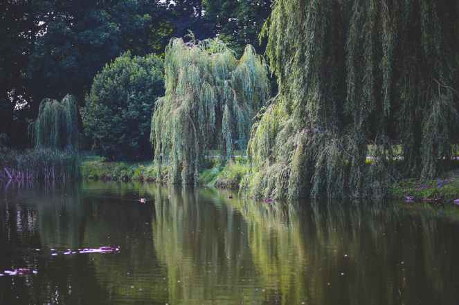 willow that grow along the river